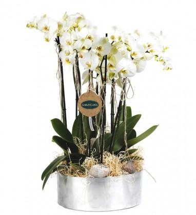 10 Dal Beyaz Orkide