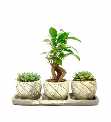 Trio Serisi Ficus Ginseng Bonsai ve Sukulent