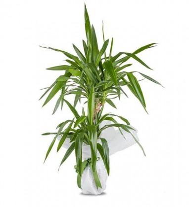 İkili Tropic Yucca Saksı Çiçeği