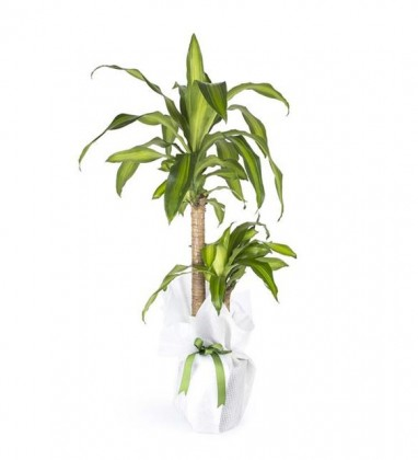 İkili Drecena Massengena Saksı Çiçeği