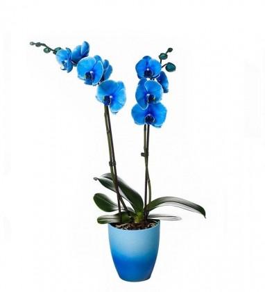 Vazoda Topraklı Kalıcı Mavi Orkide