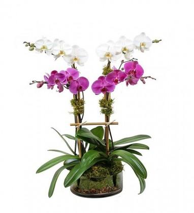 Dört Dallı Pembe ve Beyaz Orkideler