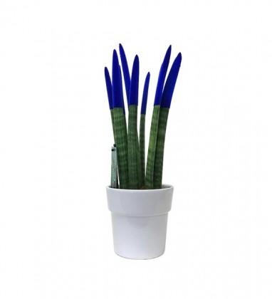 Sanseveria Bitkisi Mavi