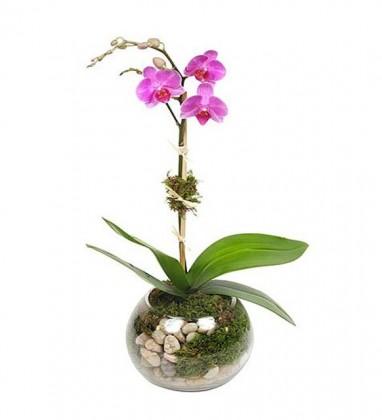 Cam Vazoda Tek Dallı Topraklı Mor Orkide