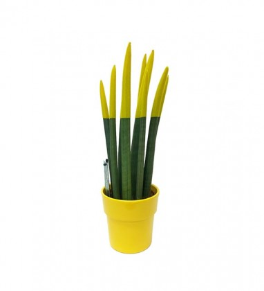 Sanseveria Bitkisi Sarı