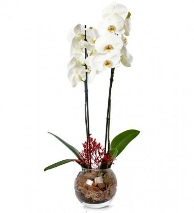Cam Saksıda Beyaz Orkide