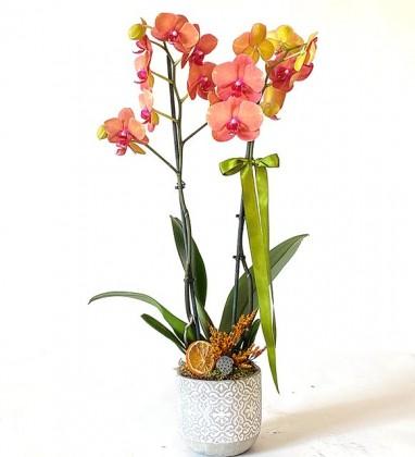 Taş Saksısında Çift Dallı Ateş Orkide