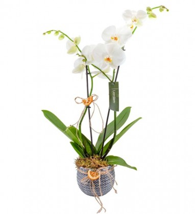 Vazoda Beyaz Çift Dal Orkide Tasarımı