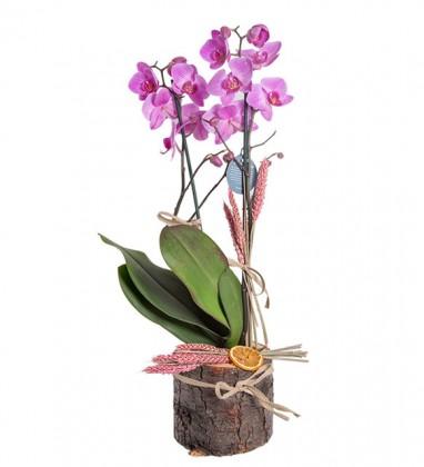 Kütükte Fuşya Orkide