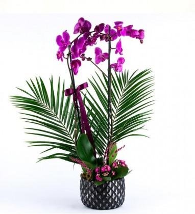 Mor Ve Ötesi Orkide