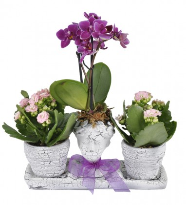 Royal Radiance Mini Orkide Kalonche